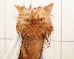 chat-roux-mouiller