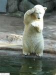 ours_blanc_qui_a_peur