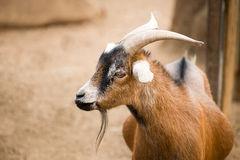 pygmy-goat-portrait-brown-s-inclosure-farm-52855492